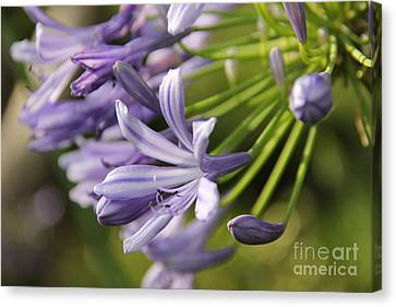 Agapanthus Flower Close-up Canvas Print
