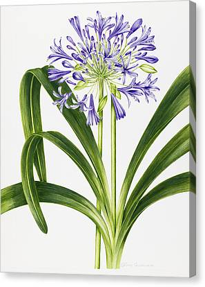 Agapanthus Canvas Print by Sally Crosthwaite