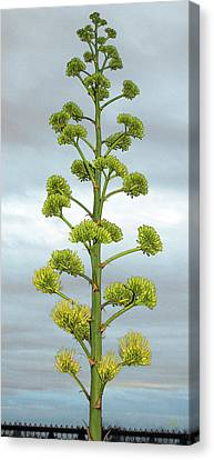 Grey Clouds Canvas Print - Agave Flower Spike by Ben and Raisa Gertsberg