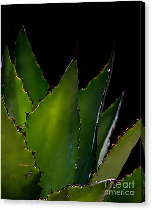 Agave Glow Canvas Print by Ruth Jolly