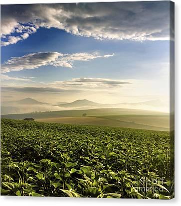 Agricultural Landscape. Sunflowers. Auvergne. France. Canvas Print