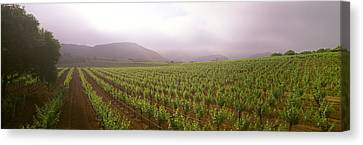 Agriculture - A Wine Grape Vineyard Canvas Print by Timothy Hearsum
