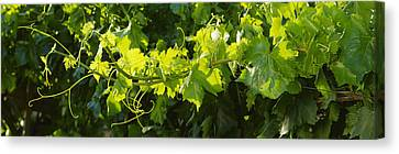 Agriculture - Closeup Of A Backlit Canvas Print by Randy Vaughn-Dotta