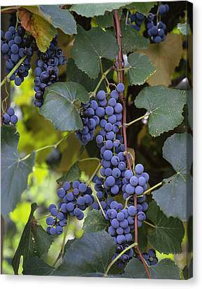 Agriculture - Concord Tablejuice Grapes Canvas Print by Gary Holscher