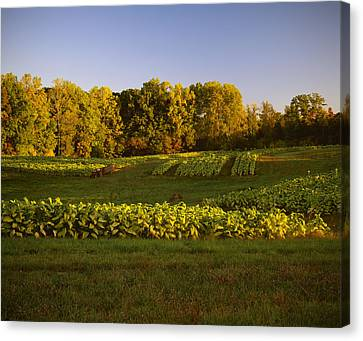 Agriculture - Field Of Maturing Flue Canvas Print by R. Hamilton Smith