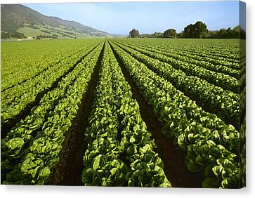Romaine Canvas Print - Agriculture - Field Of Mid Growth by Ed Young