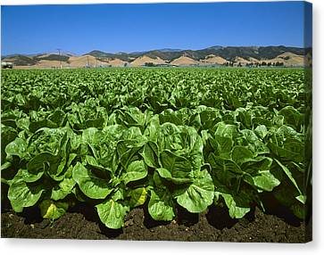 Agriculture - Field Of Romaine Lettuce Canvas Print by John Wigmore