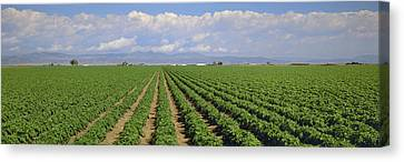 Farm System Canvas Print - Agriculture - Mid Growth Pre-bloom by Timothy Hearsum