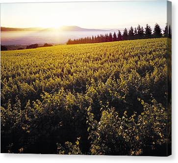 Agriculture - Sloping Wine Grape Canvas Print