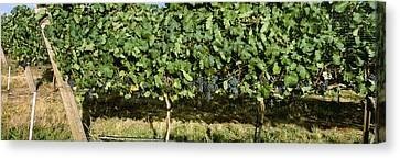 Agriculture - Vineyard Of Mature Syrah Canvas Print by Charles Blakeslee