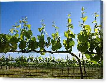 Agriculture - Wine Grape Vineyard Canvas Print by Ed Young
