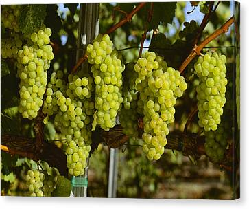 Agriculture - Wine Grapes, Chardonnay Canvas Print by Jack Clark