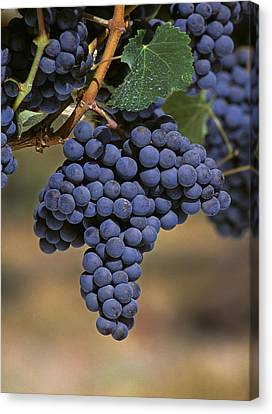 Agriculture - Wine Grapes, Merlot Canvas Print by Jack Clark