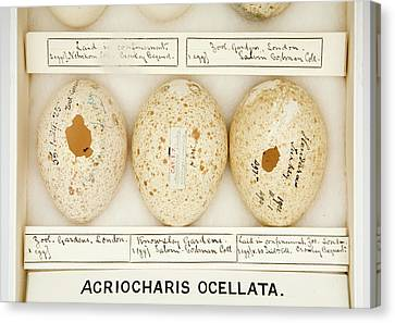 Agriocharis Ocellata Eggs Canvas Print by Natural History Museum, London