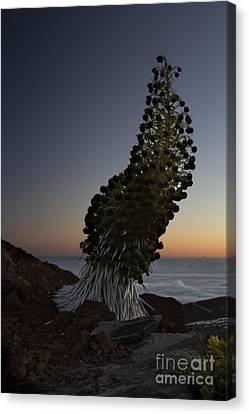 Ahinahina - Silversword - Argyroxiphium Sandwicense - Summit Haleakala Maui Hawaii Canvas Print by Sharon Mau