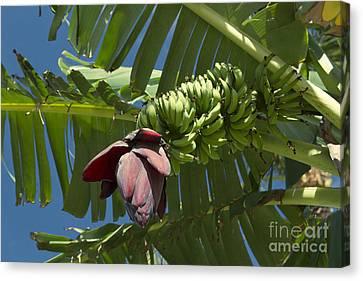 'ahui Mai'a O Wailea - Banana Flower Canvas Print