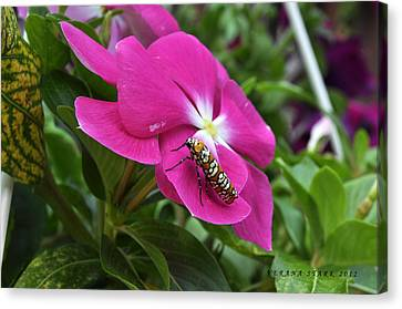 Canvas Print featuring the photograph Ailanthus Webworm Moth Visiting My Garden by Verana Stark