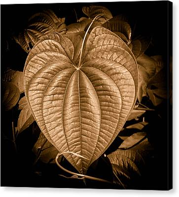 Air Potato Heart In Sepia Canvas Print