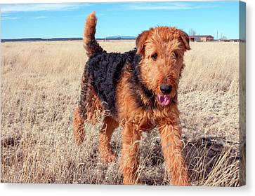 Airedale Terrier In A Field Of Dried Canvas Print
