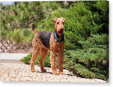 Airedale Terrier Standing By Juniper Canvas Print