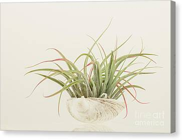 Airplant Canvas Print by Lucid Mood