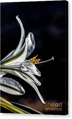 Haybale Canvas Print - Ajo Lily Close Up by Robert Bales