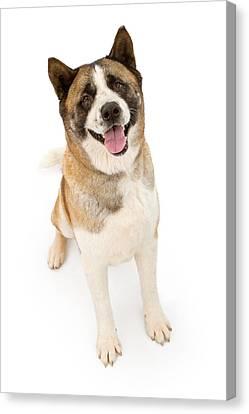 Akita Dog Sitting And Looking Forward Canvas Print