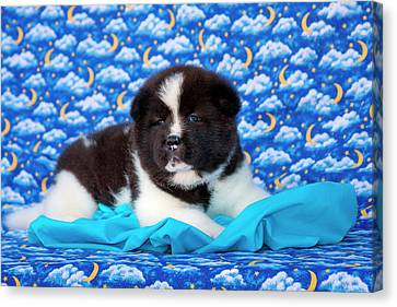 Akita Puppy With Moons And Stars (mr & Canvas Print by Zandria Muench Beraldo
