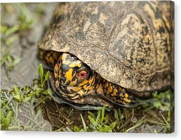 Alabama Box Turtle 2 - Terrapene Carolina Canvas Print by Kathy Clark