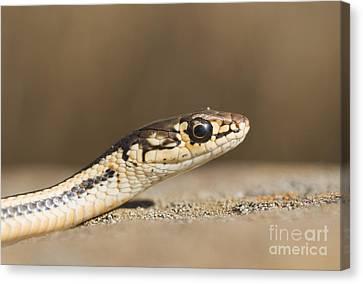 Alameda Whipsnake Canvas Print