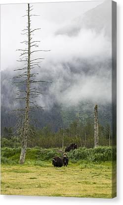 Alaska Musk Ox Canvas Print by Saya Studios