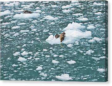 Alaska Seals Canvas Print by Aimee L Maher Photography and Art Visit ALMGallerydotcom