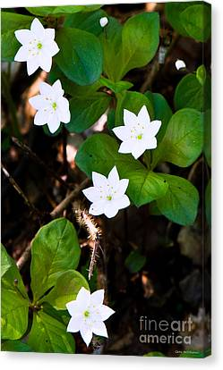 Alaska Wild Flower Canvas Print by Chris Heitstuman