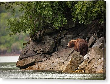 Alaskan Grizzly Bear, Ursus Arctos Canvas Print by Jak Wonderly