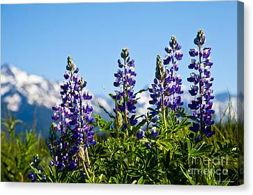 Alaskan Lupin Canvas Print by Chris Heitstuman