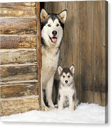 Alaskan Malamute With Puppy Canvas Print