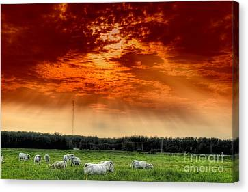 Canvas Print featuring the photograph Alberta Canada Cattle Herd Hdr Sky Clouds Forest by Paul Fearn