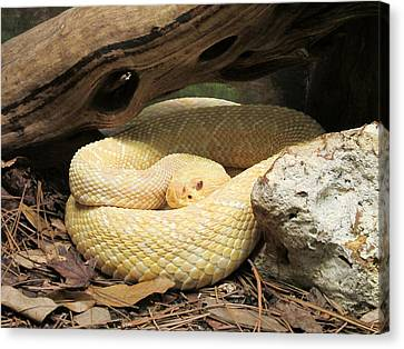 Diamondbacks Canvas Print - Albino Eastern Diamondback by Manale Images