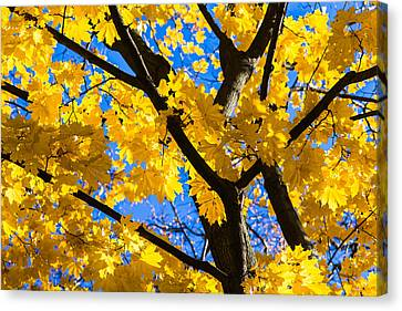 Alchemy Of Nature - Refining The Sungold Canvas Print by Alexander Senin