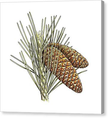 Aleppo Pine (pinus Halepensis) Cones Canvas Print by Science Photo Library