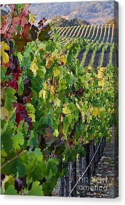 Alexander Valley Vineyard Canvas Print by Craig Lovell