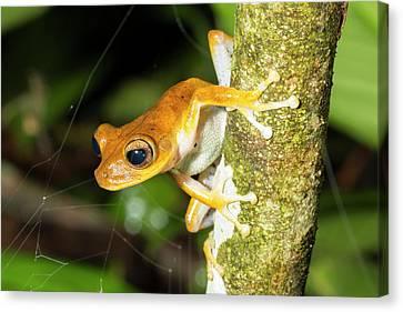 Alfaro's Treefrog Canvas Print by Dr Morley Read