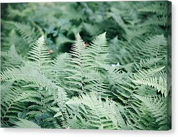 Canvas Print featuring the photograph Algonquin Ferns by David Porteus