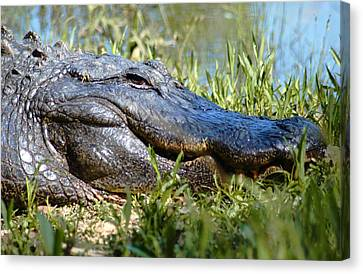 Canvas Print featuring the photograph Alligator Smiling by Bob Pardue