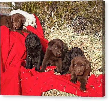 All Three Colors Of Labrador Retriever Canvas Print by Zandria Muench Beraldo