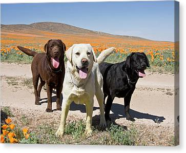 All Three Colors Of Labrador Retrievers Canvas Print by Zandria Muench Beraldo