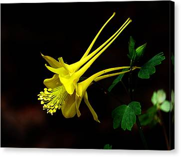 All Yellow Columbine Canvas Print