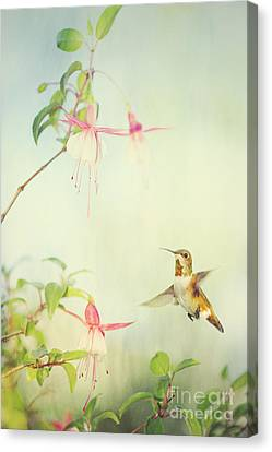 Allen's Hummingbird And Fuschia Canvas Print