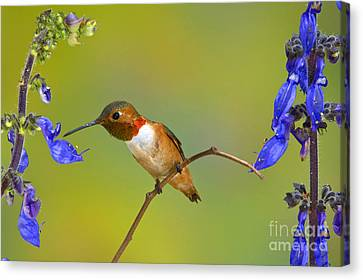 Allens Hummingbird Canvas Print by Anthony Mercieca