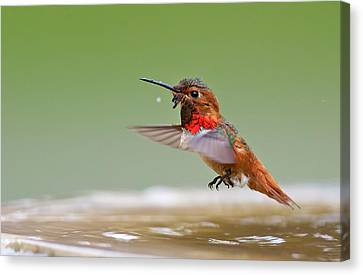 Allen's Hummingbird Canvas Print by Thy Bun